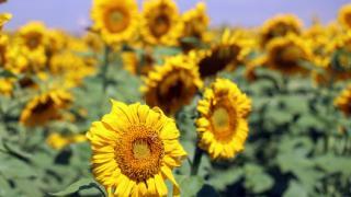 Ağrı'daki ayçiçeği tarlaları fotoğrafçılar için vazgeçilmez oldu