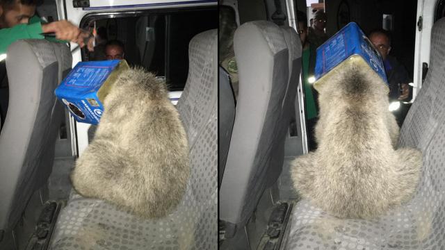 Kafası kutuya sıkışan ayı yavrusunu itfaiye ekipleri kurtardı