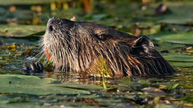 İngilterede yeniden görülen kunduzların doğaya etkileri araştırılıyor