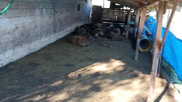Ağıla giren kurtlar 40 koyunu telef etti