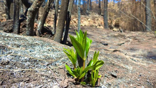 Yanan ormanlar yeniden yeşeriyor