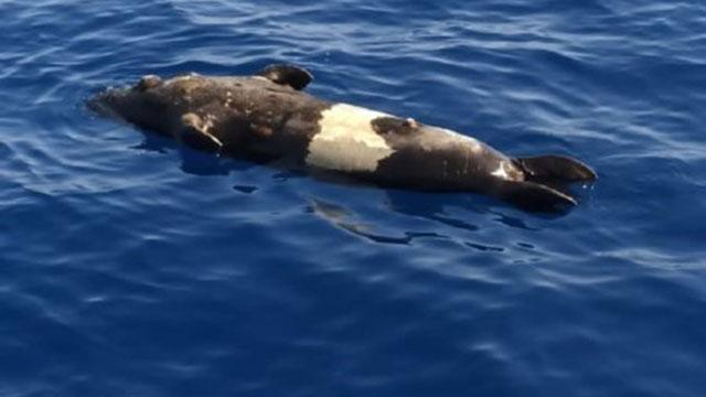 Fethiyede Akdeniz foku ölü bulundu
