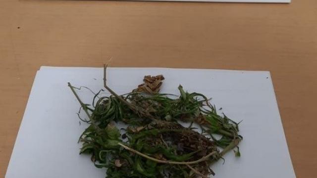 15 kök kenevir ve 690 gram kubar esrar ele geçirildi