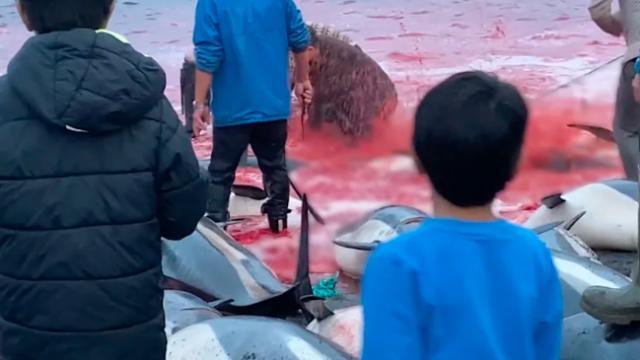 Danimarkada bin 500 balina ve yunus katledildi