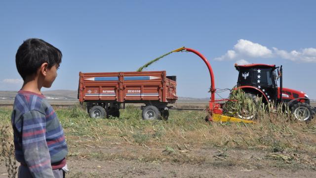 Karsta mısır sılajı hasadı başladı