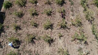 Bingöl'de terör nedeniyle atıl kalan arazilerde huzurun tesis edilmesiyle artık üzüm üretiliyor