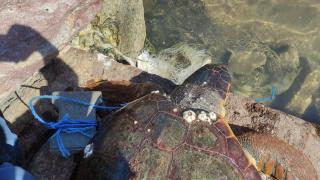 Koluna taş bağlanarak denize atılan caretta caretta kurtarıldı