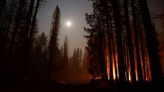 ABD'deki yangınlar: Dünyanın en büyük ağaçları tehdit altında