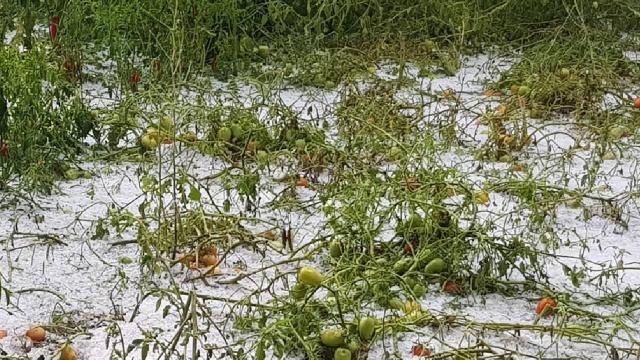 Mersinde dolu yağışı sebze ve meyve bahçelerine zarar verdi
