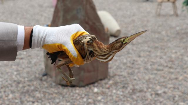 Sivasta yaralı balaban kuşu tedaviye alındı