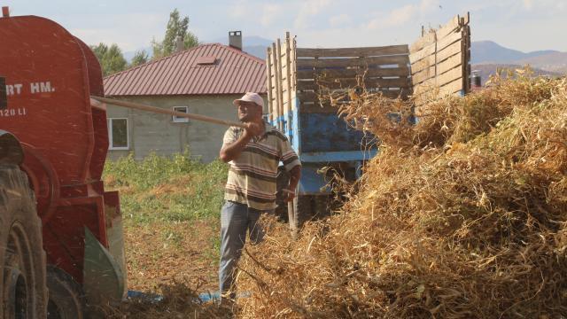 Kelkit şeker fasulyesinde hasat zamanı