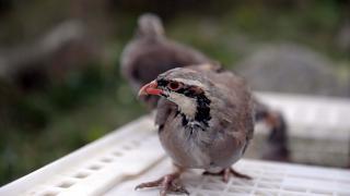 Ardahan'da 400 kınalı keklik doğaya bırakıldı