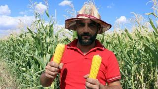 Silajlık mısır hasadı başladı
