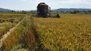 Sinop'ta çeltik hasadı başladı