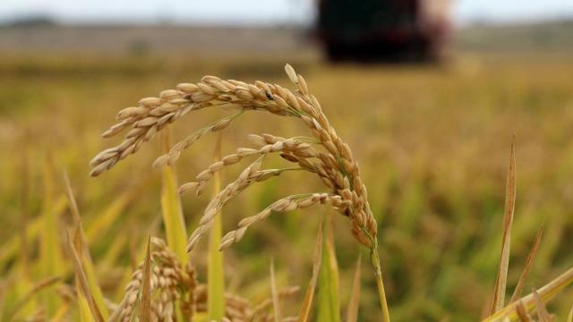 Çeltik ambarı Edirnede hasat başladı