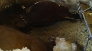 Ağıla yıldırım düşmesi sonucu 3 büyükbaş hayvan telef oldu