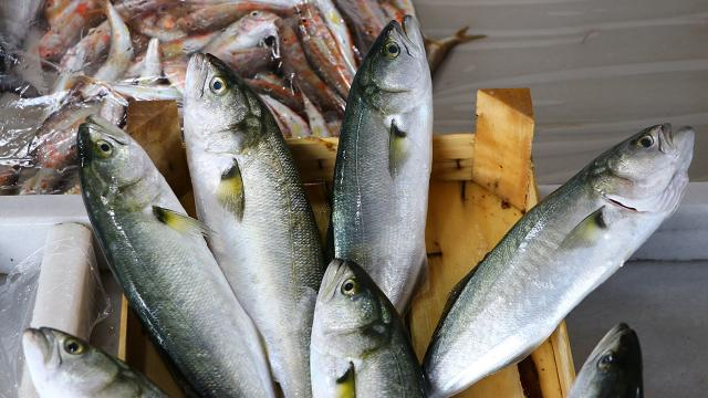 Marmarada ağ atan balıkçılar lüfer yakaladı