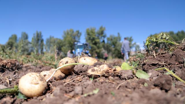 Erzurumda patates, ayçiçeği ve mısır hasadına başlandı