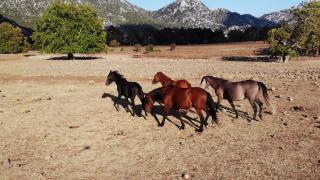 Yangından etkilenen 'yılkı atları' yaşam alanlarına geri döndü