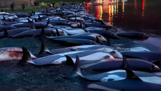 Faroe Adalarında 53 yunus daha katledildi
