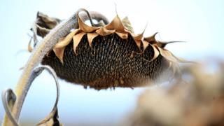 Trakya'da kuraklık ayçiçek verimini etkiledi