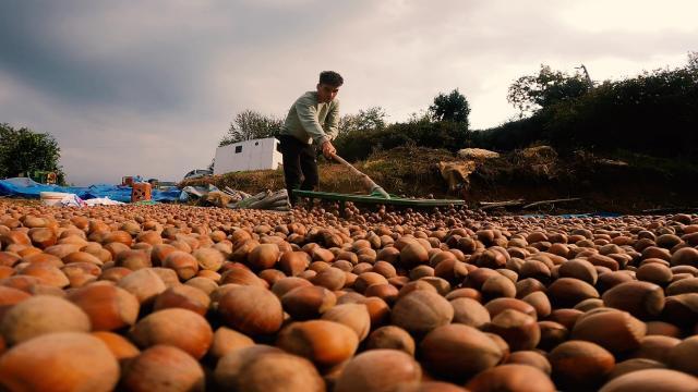 Fındık hasadı yaparak aile bütçelerine katkı sağlıyorlar