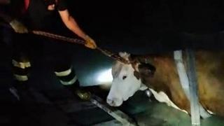 Yangın havuzuna düşen ineğin yardımına itfaiye yetişti