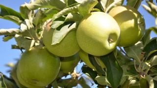 Devlet desteğiyle kurulan elma bahçelerinden 30 bin ton meyve bekleniyor
