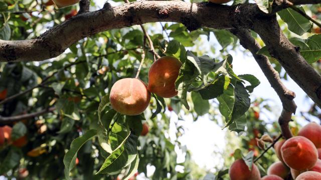 Iğdır şeftalisi Doğu Anadoluda tezgahları süslüyor