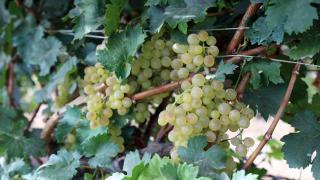 Iğdır'da üzüm hasadı