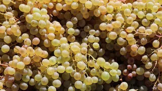 Mardinde üzüm hasadı başladı
