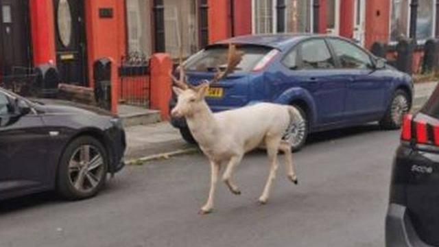 Nadir görülen beyaz geyik sokakta vurularak öldürüldü