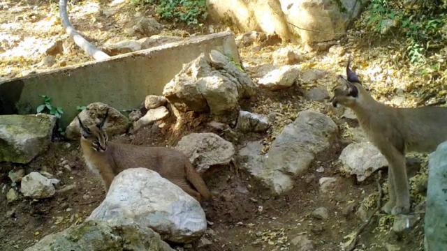 Ormanın hayalet kedisi Antalyada görüntülendi