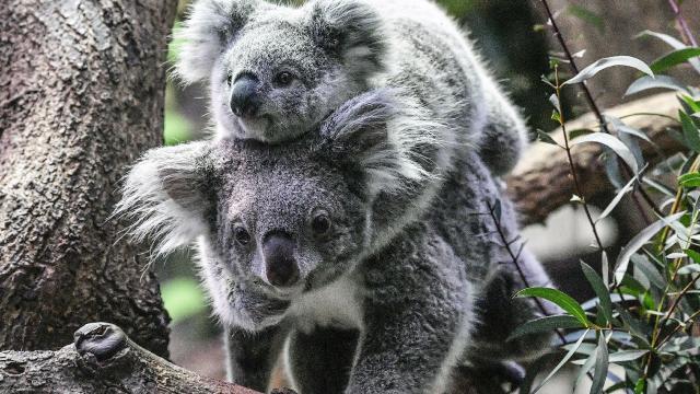 Avustralyada koala nüfusu tehdit altında