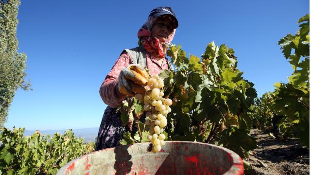 Aydında razaki üzüm için hasat zamanı