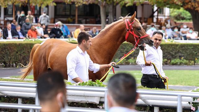 """Safkan Arap yarış atı """"Cengaver"""" 680 bin liraya satıldı"""
