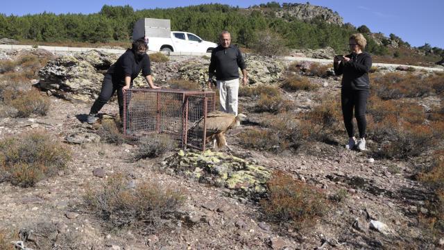 Afyonkarahisarda tedavisi tamamlanan kızıl akbaba doğaya salındı