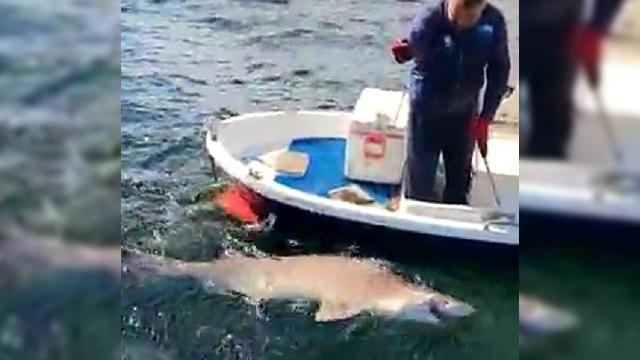 Oltasına 2,5 metre boyunda köpek balığı takıldı