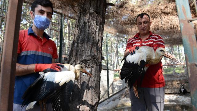 Anneleri ölen leylek yavruları, bakımlarının ardından doğaya bırakıldı