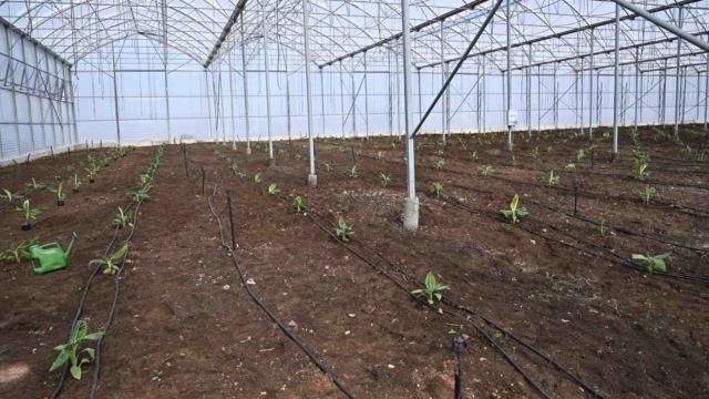 Türkiyede ilk: Organize Sanayi Bölgesinde muz serası kuruldu