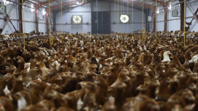 Orduda yumurta üretiminin aylık 4 milyona çıkarılması bekleniyor