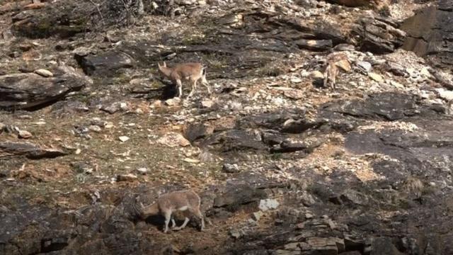Tuncelide yaban keçileri görüntülendi