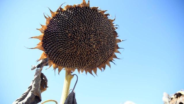 Sivasta ayçiçeği üretim alanı arttı