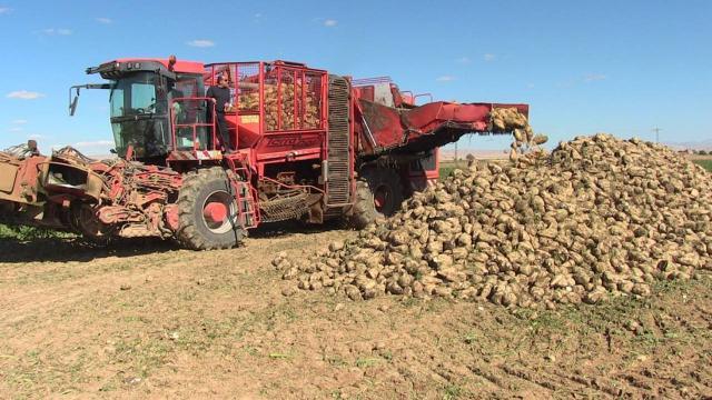 Kahramanmaraşta şeker pancarında 370 bin ton rekolte bekleniyor