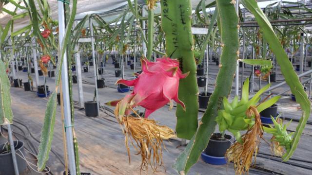 Akdeniz Üniversitesinde tropikal meyve hasadı başladı