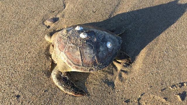 Alanyada 4 caretta caretta ölüsü kıyıya vurdu
