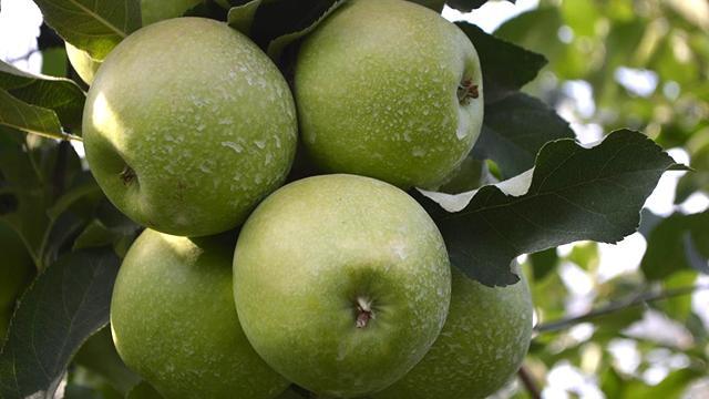 Afyonkarahisardan 3 kıtaya elma ihracatı