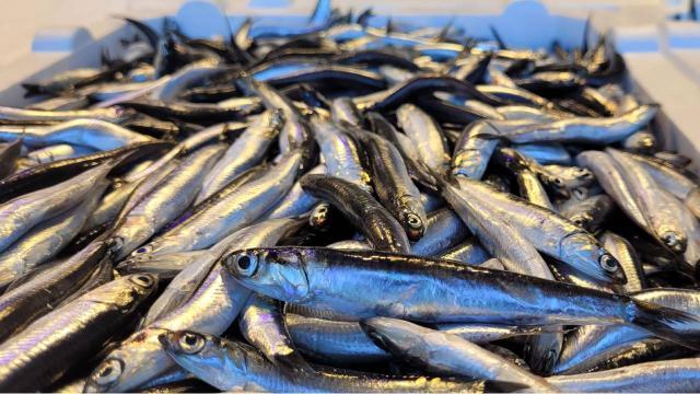 Karadenizde hamsi bolluğu: Fiyat yarı yarıya düştü