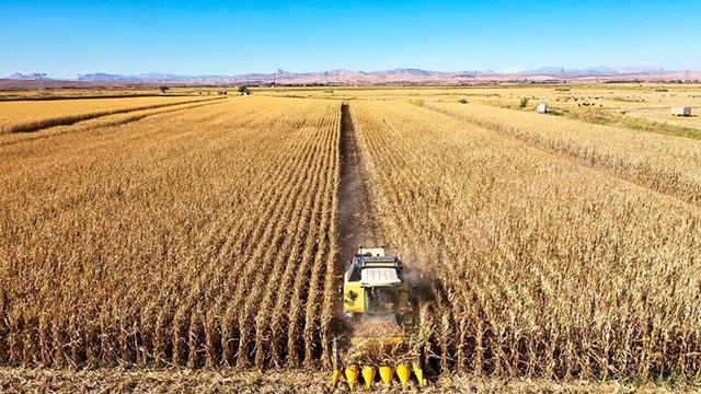 Diyarbakırda mısırdan 400 bin ton rekolte bekleniyor