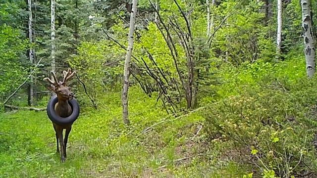 İki yıldır boynunda araba lastiğiyle dolaşan geyik kurtarıldı